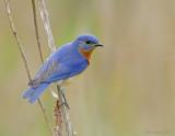 _NW85230 Blue Bird.jpg