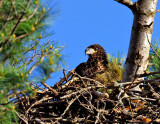 _NW85291 Bald Eagle Chick.jpg