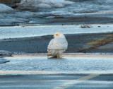 BBC Owl Prowl, 2009