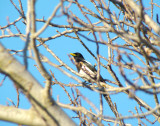 Yellow-billed Magpie 1