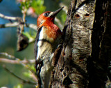 Red-breasted Sapsucker 1