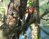 Red-breasted Sapsucker 2