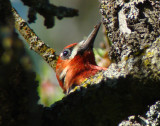 Red-breasted Sapsucker 3