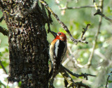 Red-breasted Sapsucker 4