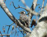 Nuttall's Woodpecker (female)