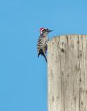 Nuttall's Woodpecker 1