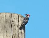 Nuttall's Woodpecker 2