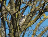 Nuttall's Woodpecker 3