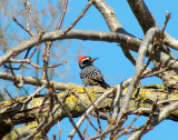 Nuttall's Woodpecker 4