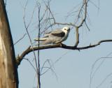 White-tailed Kite 1