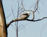 White-tailed Kite 2