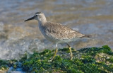 Red Knot, juv.