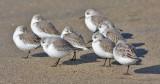 Sanderlings, basic
