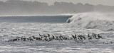 Willets & Marbled Godwits