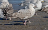 presumed Glaucous-winged x Herring Gull, 2nd cycle
