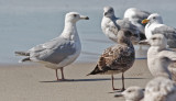 Glaucous-winged x Herring Gull at left, 3rd cycle