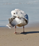presumed Glaucous-winged x Herring Gull, 3rd cycle
