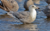 Glaucous x Herring Gull hybrid (Nelson's) 2nd cycle (1 of 2)
