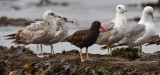 Black Oystercatcher with California Gulls