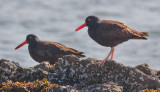 Oystercatchers, juv. (left) with adult