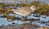 Black-bellied Plover, basic