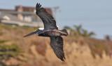 Brown Pelican, adult