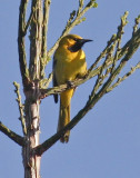 Hooded Oriole, 2nd yr.