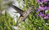 Anna's Hummingbird, adult female (#1 of 3)