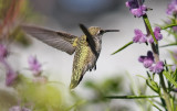 Anna's Hummingbird, adult female (#2 of 3)