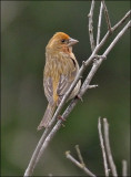 Purple Finch, unusual orange morph male