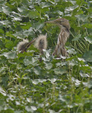 American Bittern with young