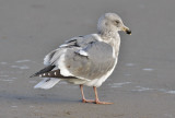 Glaucous-winged x Western Gull, 3rd cycle