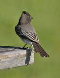 Black Phoebe (#1 of 2)