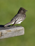 Black Phoebe (#2 of 2)