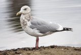Glaucous-winged x Herring Gull, basic adult