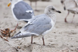 Glaucous-winged x Herring Gull, 3rd cycle