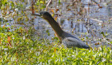 Green Heron, adult (2 of 3)