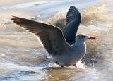 Heermann's Gull