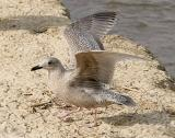 Probable Thayer's Iceland Gull, 1st cycle