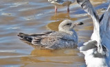 Probable Glaucous-winged x Herring Gull, 2nd cycle