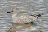 presumed Glaucous-winged x Herring Gull, 1st cycle