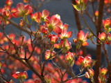 Dogwood Ablaze (9th place, Changing Seasons Challenge)