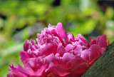 Peony resting on a branch