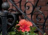 Wrought iron hibiscus