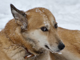 Sahraa the Kuwaiti Desert Dog: Snow Portraits