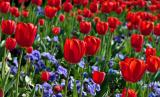 Topkapi tulips