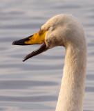 Whooper & Bewick's Swans