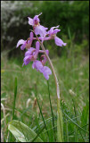 Orchis mascula - Early Purple Orchid -  Sankt Pers Nycklar,.jpg