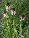 Orchis ustulata - Burnt Orchid - Krutbrännare  .jpg