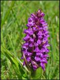 Dactylorhiza incarnata  - Early Marsh Orchid - Ängsnycklar.jpg